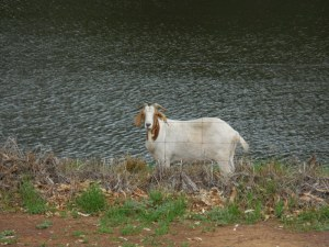 Camping on the river in Wellington - park goat