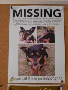 Missing  Australian shepherd