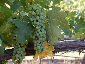 Mudgee grapes