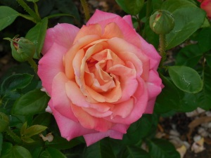 Mudgee roses