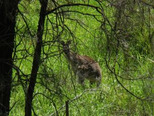 Kangaroo in hiding