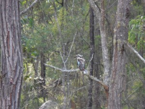 Kookaburra in the woods