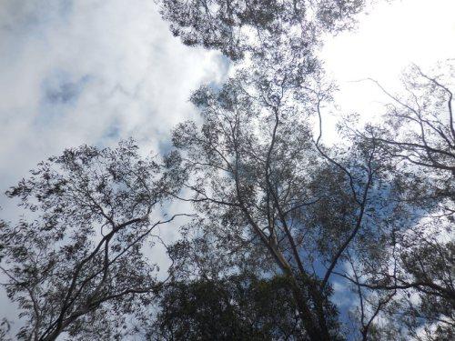 Barrington trees