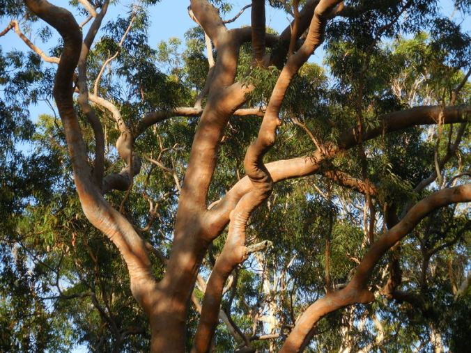 More red gums - so photogenic