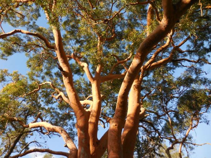 More red gums