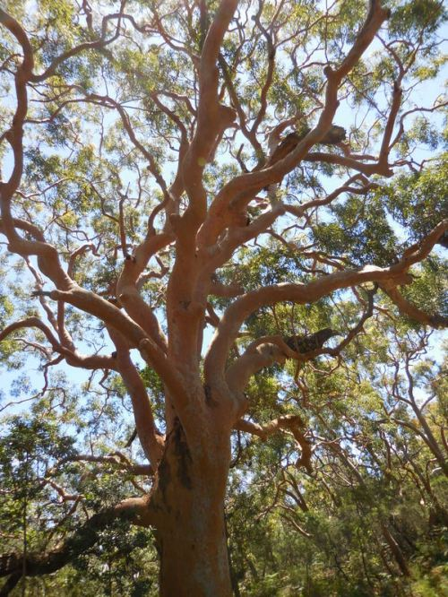 Red gum tree