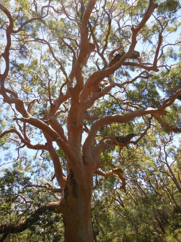 Red gum tree
