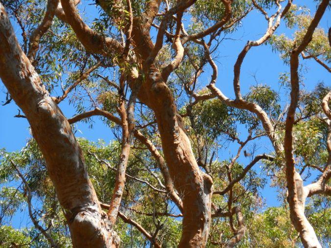 Red gum trees