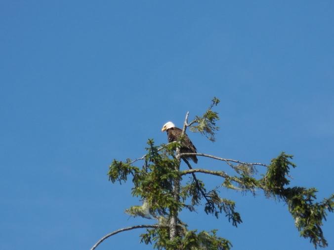 Alder Bay eagle 2