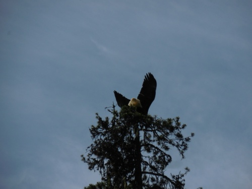 Eagle getting away