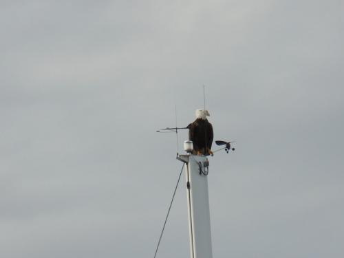 Eagle on sailboat
