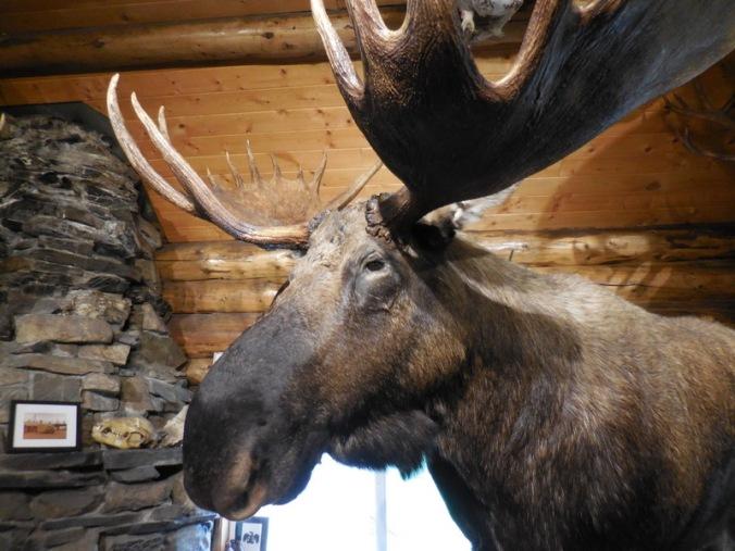Moose for Inge