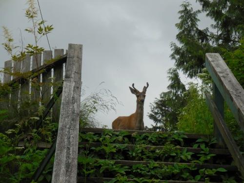 PR deer