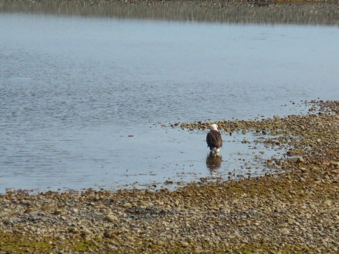 Golden eagle on beach