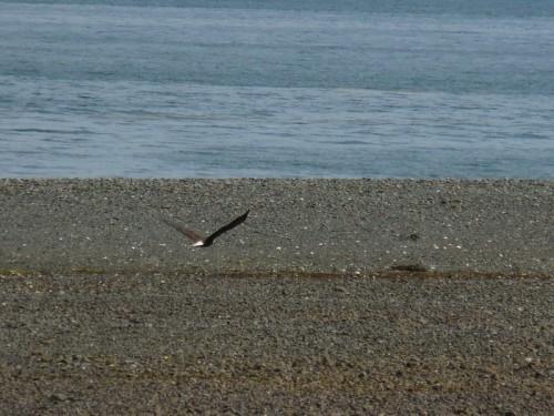 Golden eagle taking off