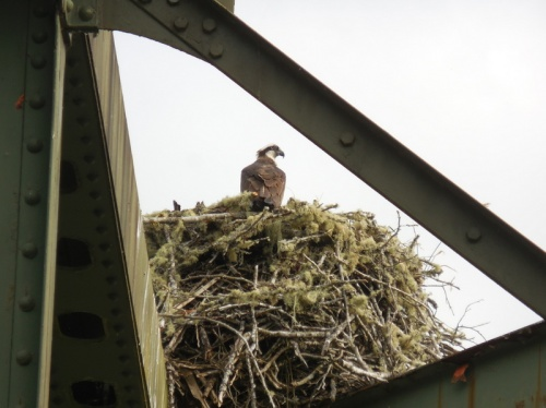 Osprey nest on bridge
