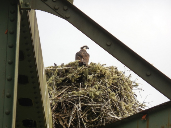 Osprey nest on bridge