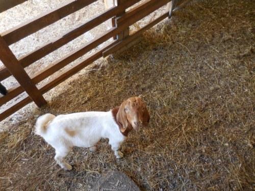 Salt Spring goat 1