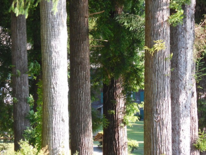 Trees at Quinault Lake 2