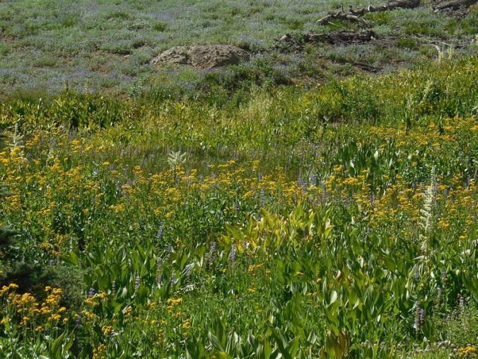 Mountain meadow 1