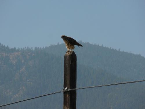 Young hawk 1