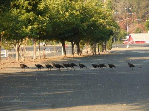 12 turkeys