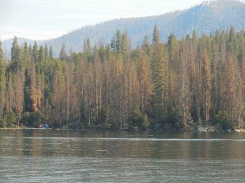 Bass Lake tree die back