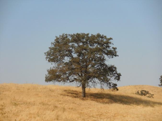 Foothils tree 3
