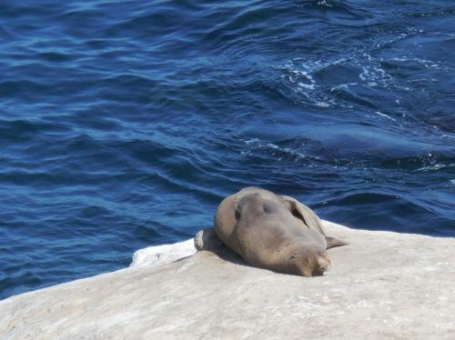 La Jolla Cove seals 5