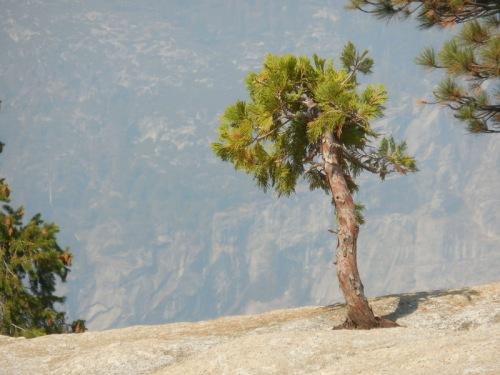 Nevada Falls tree