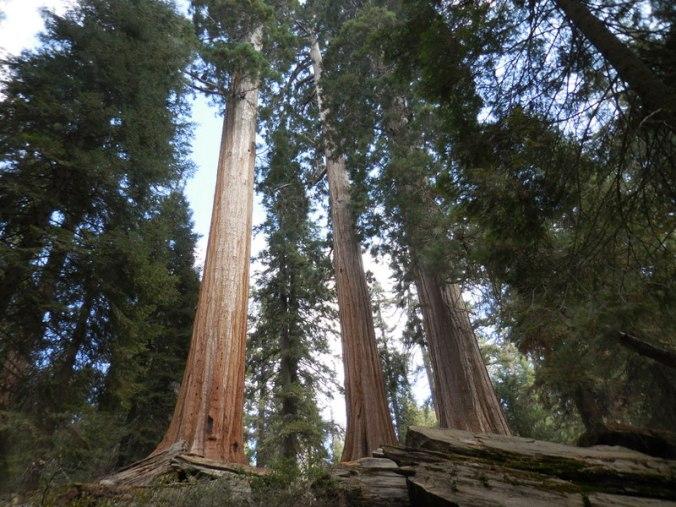 Sequoia 12
