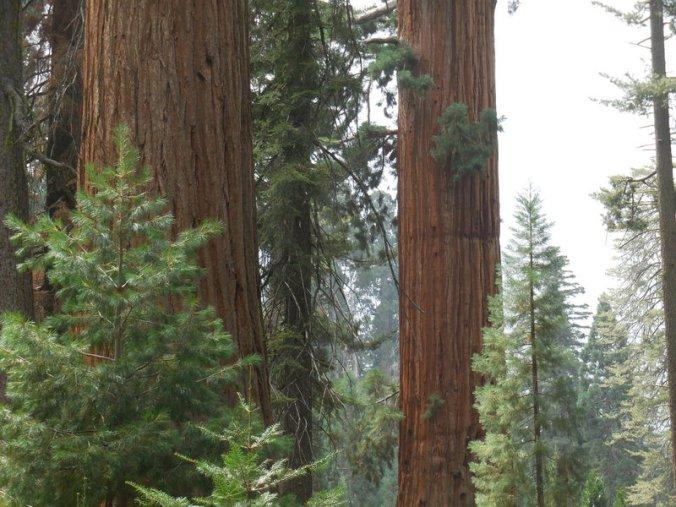 Sequoia 124