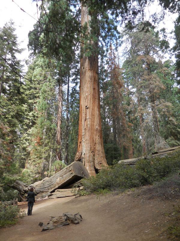 Sequoia 13