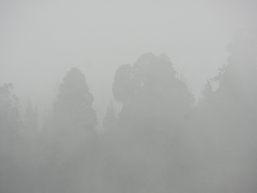 Sequoia in the fog
