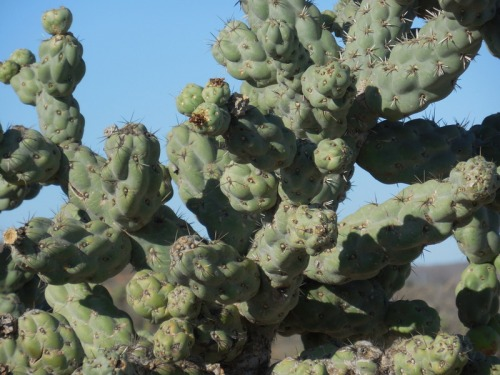 Cactus tree close up