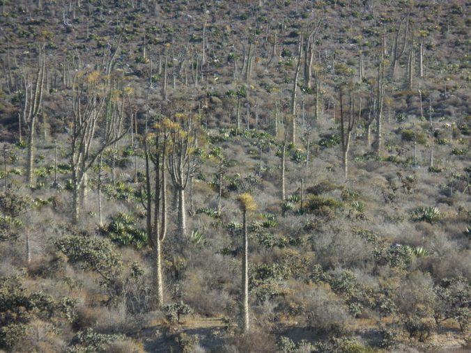 Distant cacti