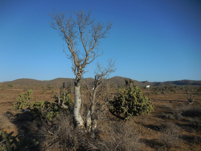 Elephant tree 3