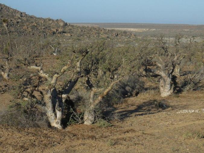 Elephant trees