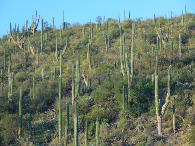 Morning cacti 1