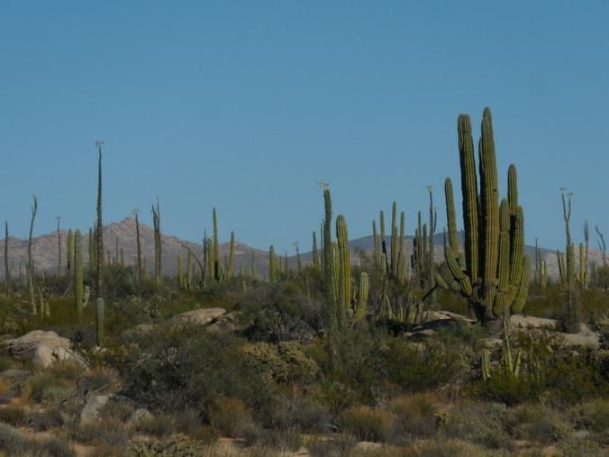 Sucoro cactus 3