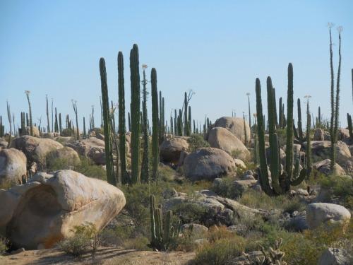 Sucoro cactus 6