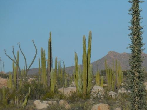 Sucoro cactus 7