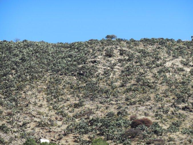 Cactus forest 1
