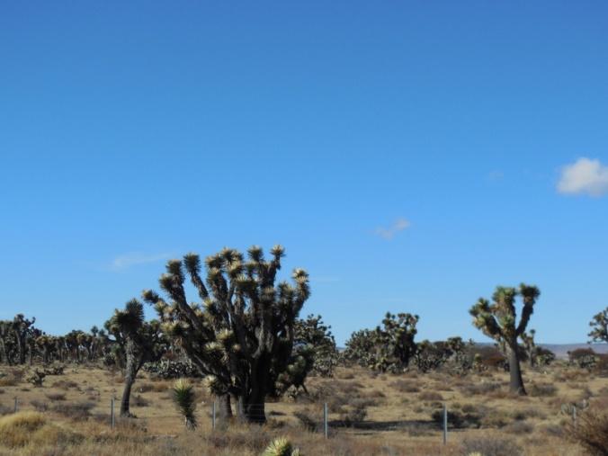 Desesrt trees again 1