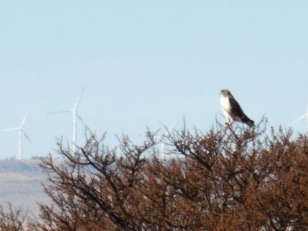 Hawk of some kind