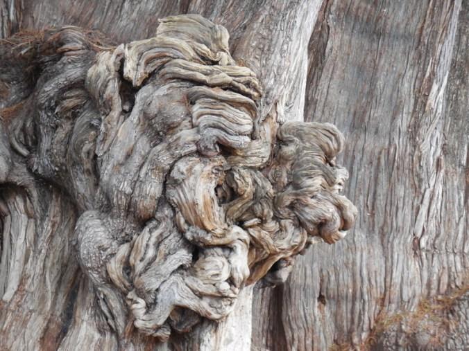 Big tree burl