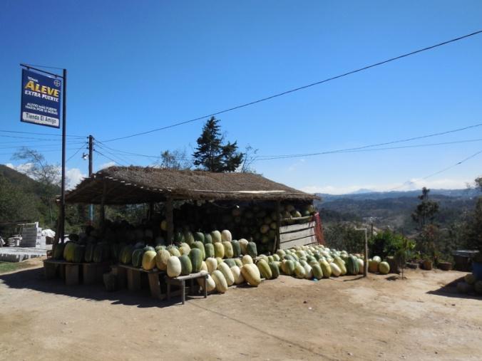 Cucurbita ficifolia - Chilacoyotl seller- one of many