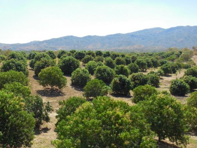 Mango trees 1