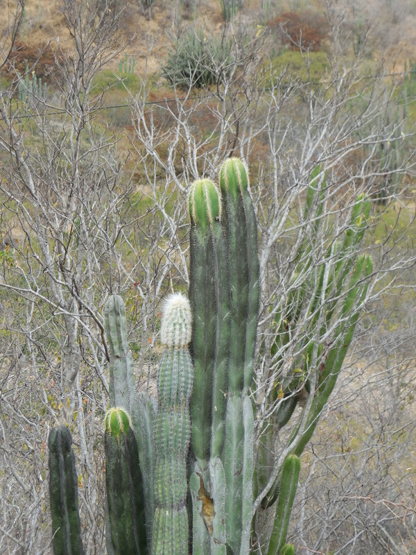 Oaxaca cacti 3