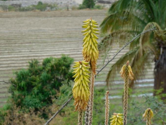 Oaxaca flower 1